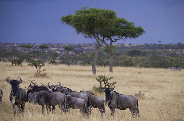 Wildebeest below a growing storm