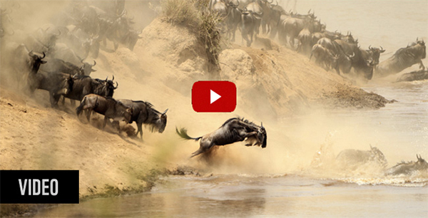 Wildebeest crossing a river in East Africa's Great Migration